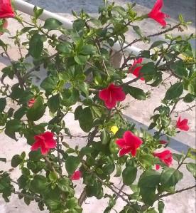 Lauki Java flower in my flower Garden