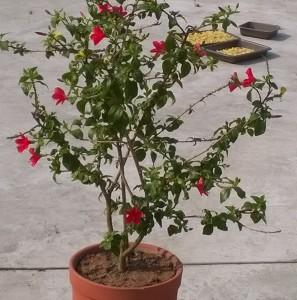 Lauki Java flower in my flower Garden on Terrace
