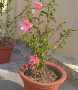 Lauki Java flower in my flower Garden on Terrace